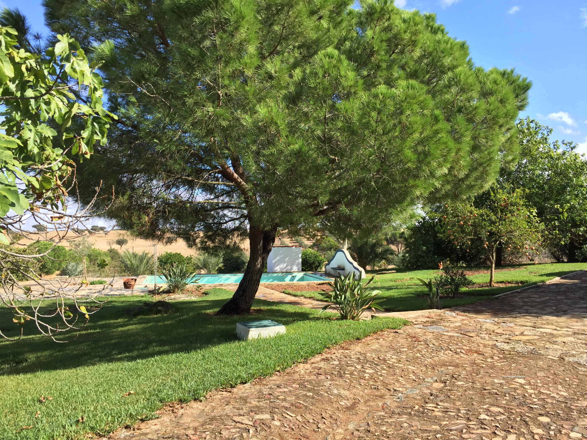 The pine trees of our garden and healthier and greener than ever!